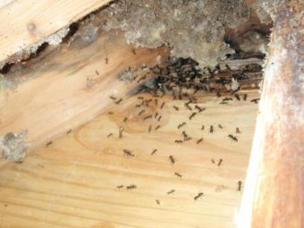 Control damage by Carpenter Ants in Monmouth County